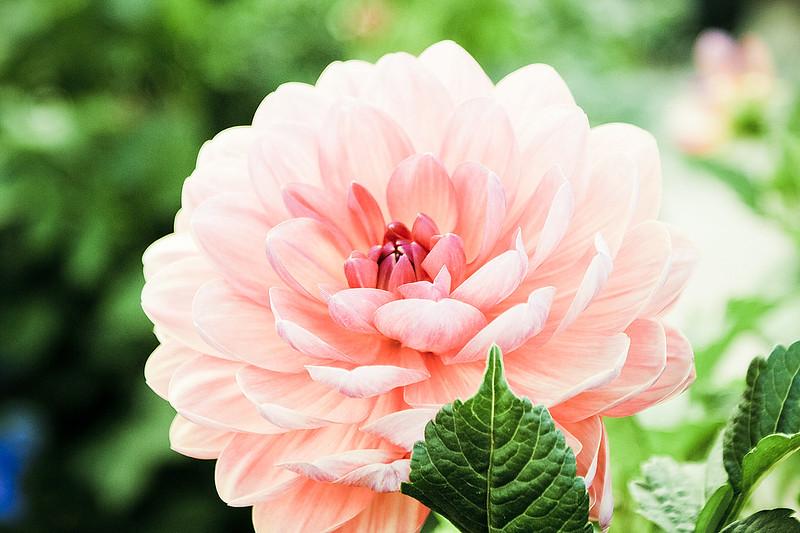 美麗的菊花