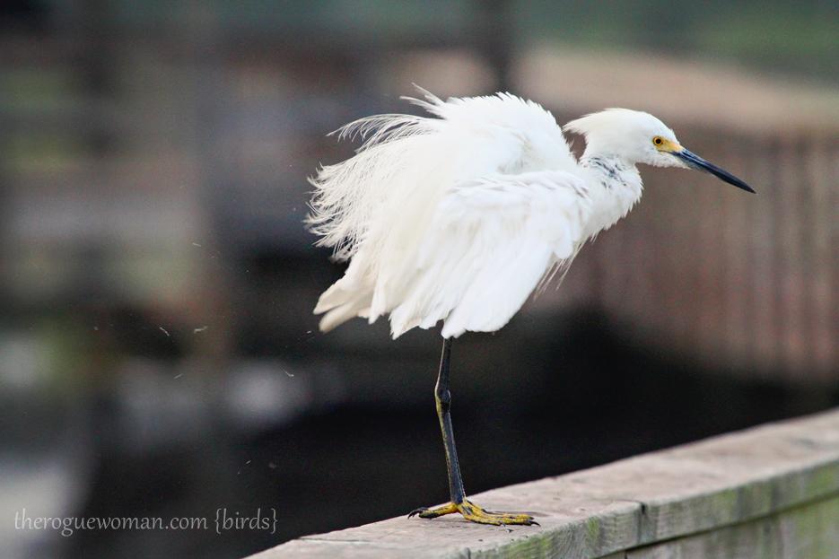 072312_03_bird_snowyEgret