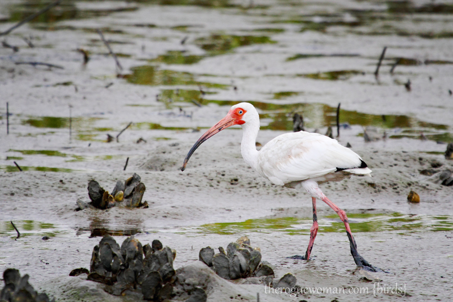 072312_03_bird_whiteIbis01