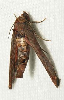 Euteliid Moth (Eutelia sp., Euteliinae, Euteliidae)