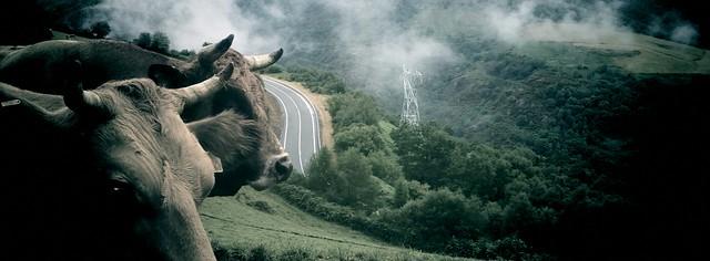 Vacas en el camino de Santiago y al fondo la civilización