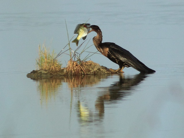 Anhinga with sunfish 01-20120808