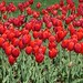 Red Tulips  Photo by Sunshine E. Monk