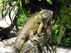 large iguana posing on a tree trunk