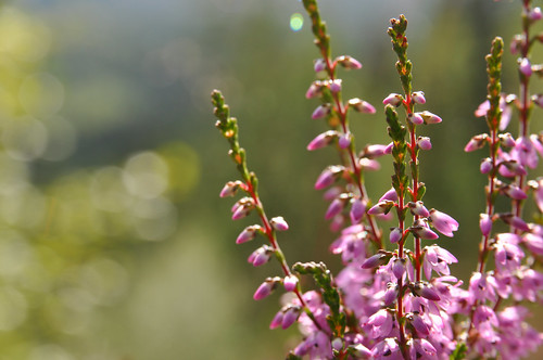 Heather and sunshine