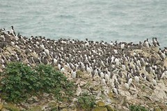 One or two Guillemots on the stack at Manorbier