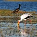 Small photo of Yellow-Billed Stork and African Openbill