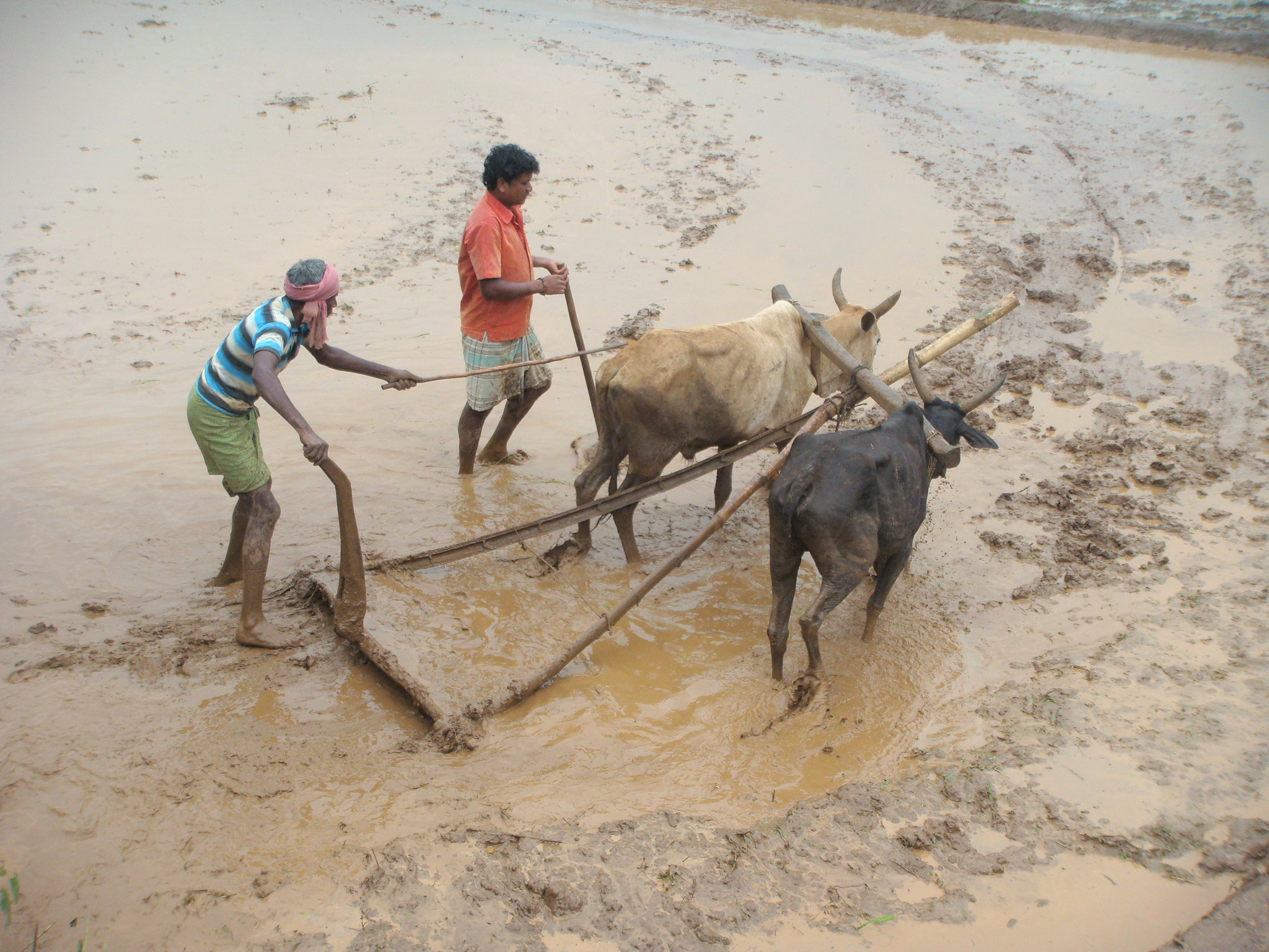 Traditional Agriculture Systems, Koraput (India)
