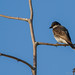 Eastern Kingbird I