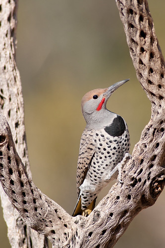 Northern Gilded Flicker (10) by Dan W Conway