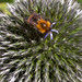 Bumble bee on Globe thistle