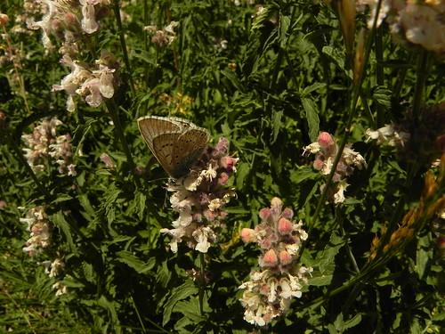 Nepeta nepetella=Petit nepeta et Lysandra coridon=Argus bleu nacré(3)