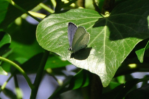 Holly Blue butterfly, Denby Dale, West Yorkshire