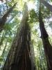 Sequoies
