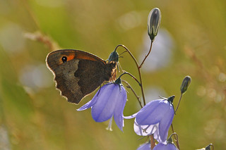 Meadow Brown on a Harebell, backlit by the evening sun