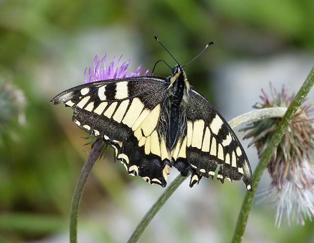 Swallowtail, Switzerland