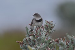 White - fronted  Chat