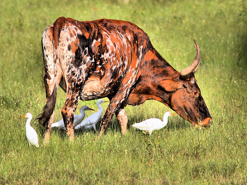 Cow and Cattle Egrets HDR 2-20160905
