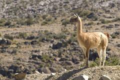 Wanaku - Lama guanicoe