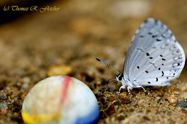 Common Blue and Marble