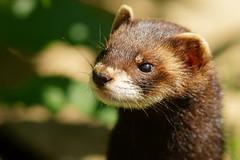 [フリー画像素材] 動物 1, 哺乳類, フェレット ID:201208021000