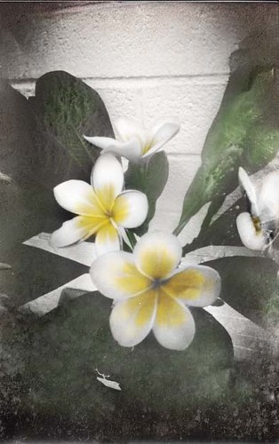 a plumeria of my very own by Crunchy Footsteps