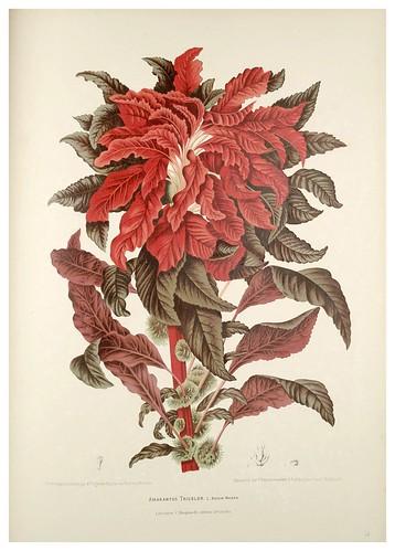 009-Amaranto tricolor-Fleurs, fruits et feuillages choisis de l'ille de Java-1880- Berthe Hoola van Nooten