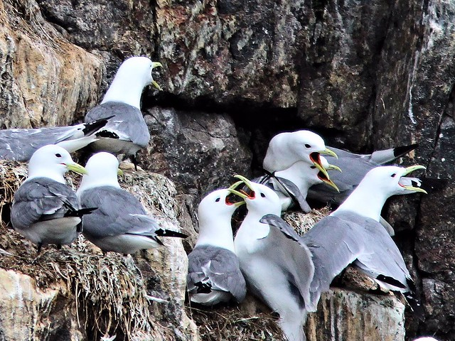 Black-legged Kittiwakes 20110625