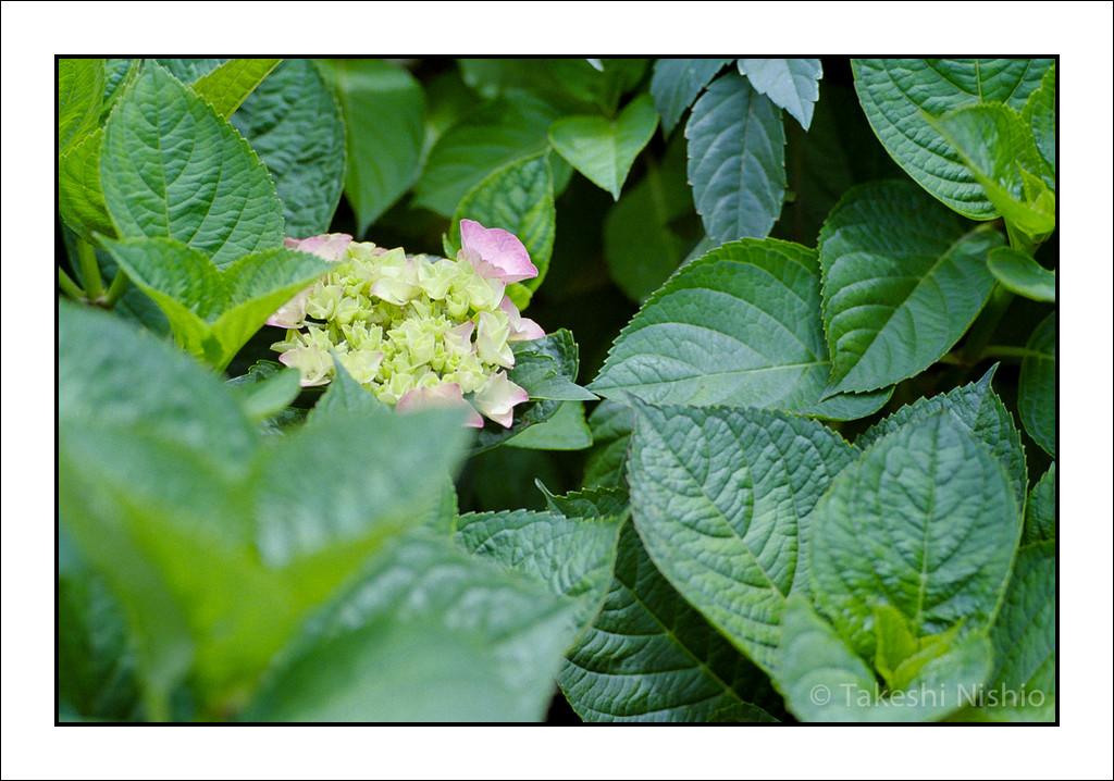 咲き始めたアジサイ / Hydrangea, comes into bloom