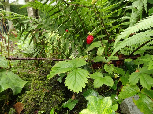 Alpine Strawberry at Dove Cottage