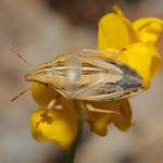 csőrös szipolypoloska - Aelia rostrata