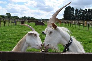 Goats Goats Kiss
