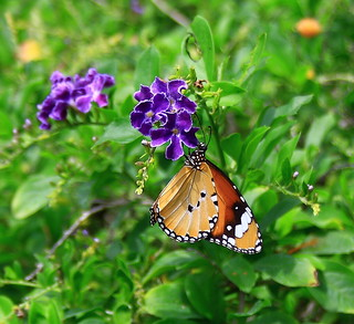 Plain Tiger(Danaus chrysippus) on a Duranta flower