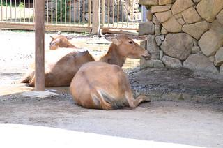 シフゾウ görüntü. zoo 動物園 tamazoo tamazoologicalpark 多摩動物園