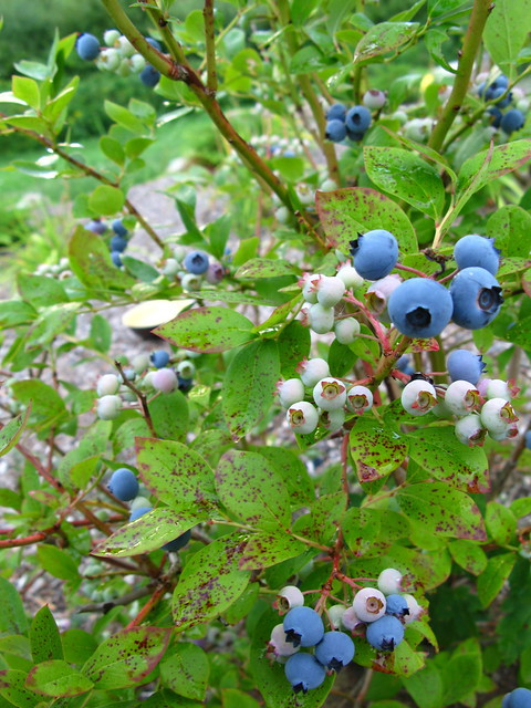 Blueberry bush in the back yard