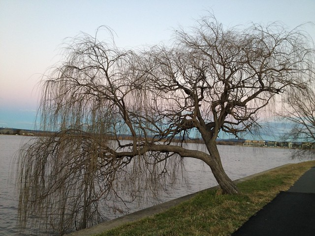 Winter Weeping Willow By Lake Burley Griffin Flickr