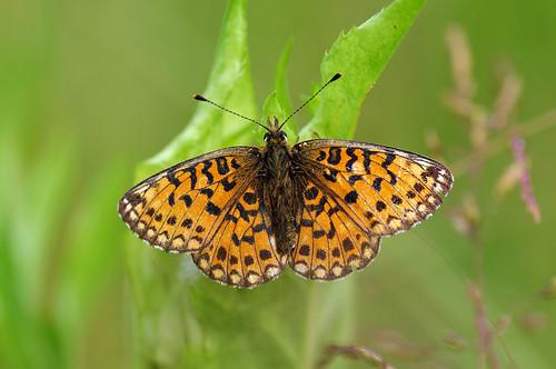 nature fauna butterfly estonia pentax eesti loodus k7 liblikas smallpearlborderedfritillary boloriaselene pentaxk7 harilikkannikesetäpik
