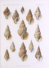 conch(1.0), invertebrate(1.0), seashell(1.0), conch(1.0),