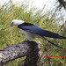 Swallow Tailed Kite In Pine Tree With Tree Frog