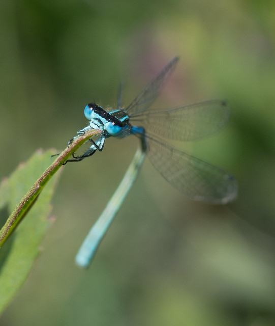 Southern blue damselfly Coenagrion mercuriale head on