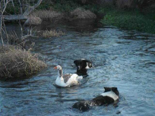 Hembras Border Collie trabjando juntas en el agua
