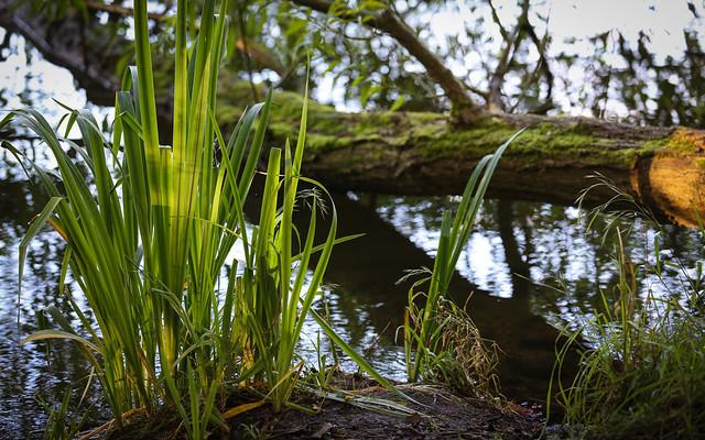 River Bank Reeds