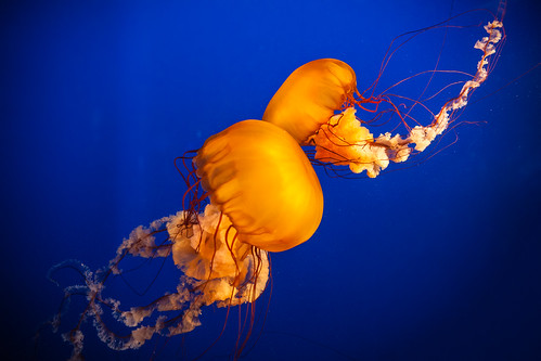 Dancing jellyfishes
