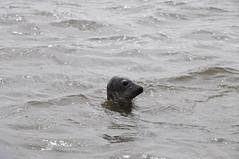 Grey seal having a nosy