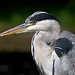 Grey Heron - Photo (c) Martha de Jong-Lantink, some rights reserved (CC BY-NC-ND)