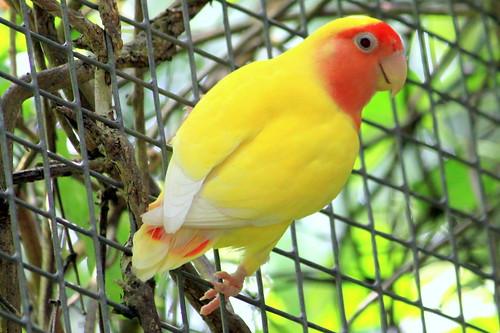 Lutino Rosy-faced Lovebird