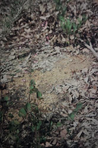 Boronia gracilipes (Karri Boronia)