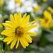 Fleur jaune au zoo de Granby