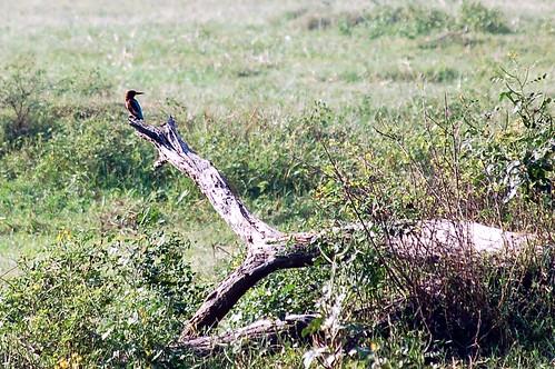 Der Vogel mit einem grossen Schnabel könnte ein Specht oder ein Muschelknacker sein