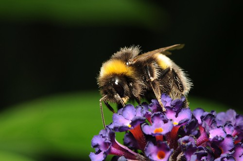 Bee on a Buddleia by Andy Pritchard - Barrowford